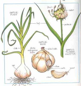 garlic1-300
